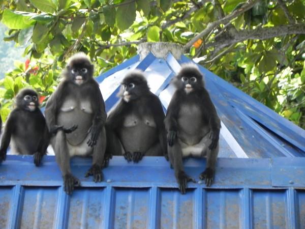 apen op dak puur lonneke